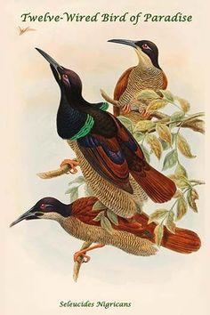 Seleucides Nigricans - Twelve-Wired Bird of Paradise