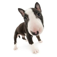 Artlist Collection THE DOG (Bull Terrier ) — April 2014