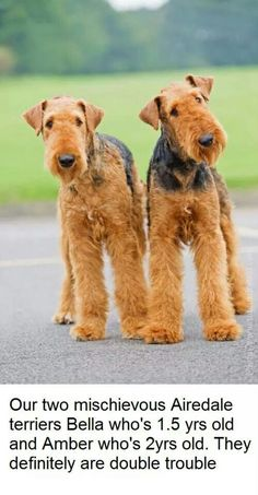 Airedale Terrier (not mine) Had one myself when I was a
