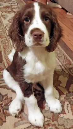 .English Springer Spaniel. So cute. Would love to have a spaniel. Don't know if it will be a English Springer or a Cocker. So hard