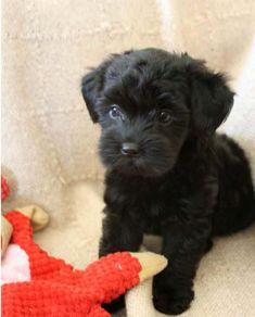 Black Mini Toy Poodle | Childrens Toy WallPaper