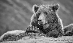 Photography workshops Alaskan Brown Bear, Rain Gear, Alaska Travel, Photography Workshops, Safari, Bears, Rock, Animals, Rain Jacket