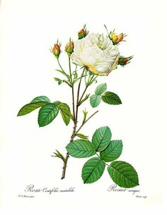 This print of the Rosa Centifolia Mutabilis rose in a beautiful white with soft pink at the base. This is an original book plate from the 1978…