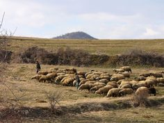 Free photo: Bulgaria, Mountain, Sheep, Herd - Free Image on Pixabay - 1064169 Free Pictures, Free Photos, Free Images, Venus, What Is Success, Bulgaria, Monet, Sheep, Ministry