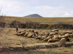 http://owczyswiat.pl/wypas-owiec-jozefow/ Wypas owiec Józefów posiada własne miejsce w historii.  Owce pochłaniające rośliny rekultywują glebę. Dzieje się tak za sprawą wdeptywanie odchodów. Zmineralizowana gleba daje lepszą rośliny. Przez to zwierzęta są o wiele lepiej najedzone. W związku z tym otrzymujemy lepsze produkty owcze także większy zarobek. Mięso i wełna są na wagę złota. #wypasowiecJózefów