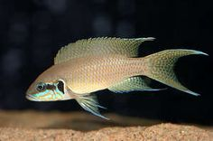 The Neolamprologus brichardi is a very popular shell dweller from Lake Tanganyika Tropical Freshwater Fish, Freshwater Aquarium Fish, Fish Aquariums, Malawi Cichlids, African Cichlids, Tropical Aquarium, Tropical Fish, Lake Tanganyika, Aqua Culture