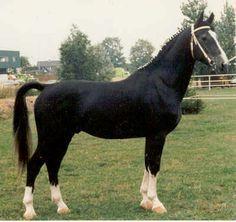 Photo of Batello: Dutch Harness Horse