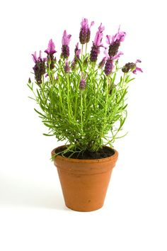 Planting Lavendar    http://everything-lavender.com/growing-lavender-in-containers.html