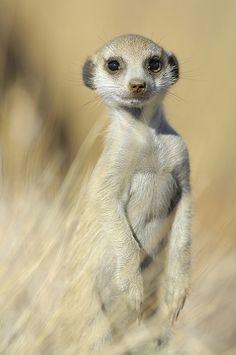 .adorable meerkat