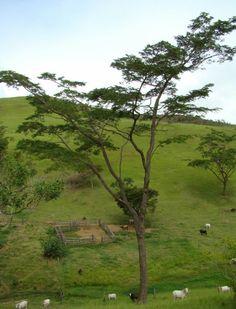 Jacaranda da Bahia Dalbergia nigra
