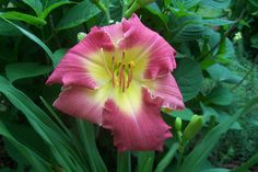 """Angel Rose......6"""" bl.....27"""" tall.....mid. season and dormant.......$8.00 df — at Daylilies of the Valley."""