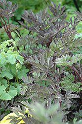 Hillside Black Beauty Bugbane (Cimicifuga racemosa 'Hillside Black Beauty') at Gertens