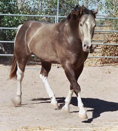 My dream horse would be:  A grulla overo paint BLM Mustang gelding with a white on black mane and tail and blue eyes. Is that so hard? Yes... yes it is. Haha. But I will find him some day!