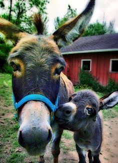Mom and Baby Donkey - I am soooo in love. Such gentle souls in those eyes.