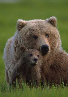 North American brown grizzly mom and cub
