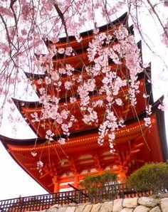 Sakura at Miyajima, Japan