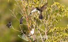 Eastern Kingbird, Bird Images, Bird Family Prints, Bird Photography, Kingbird Photographs, Eastern Kingbird Prints, Wildlife Photography, Nesting Photographs, Educational bird Photos, Fine Art bird Prints or downloads.