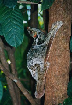 Sunda flying lemur - Wikipedia