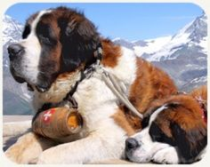 The Intelligent St. Bernard — Saint Bernard dogs are said to have originated in monasteries located in a pass through the Alps between Italy and Switzerland. This pass is now known as . . . (read more)  http://blog.21stcenturypet.com/2013/05/the-intelligent-st-bernard/ #21stcenturypet #stbernard #rescuedogs
