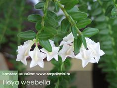 Hoya_weebella.jpg (500×375)