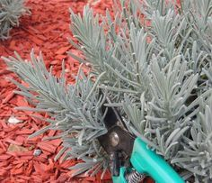 Lavender, Herbs, Plants, Gardening, Succulents, Lawn And Garden, Herb, Plant, Planets