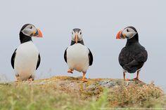 Puffins, stepping it up. Beautiful Birds, Beautiful World, Puffins Bird, Newfoundland, Ocean Life, Science And Nature, Sea Creatures, Nature Photos, Pet Birds