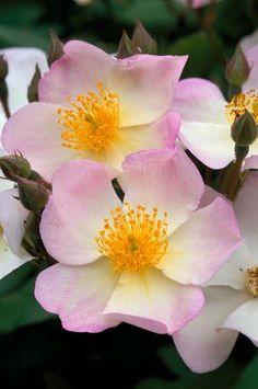 Rosa 'Apple Blossom' Fotografia de John Glover, uno de los primeros y de los mas importantes fotografos de jardin del Reino Unido