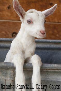 Baby Saanen Dairy Goat!