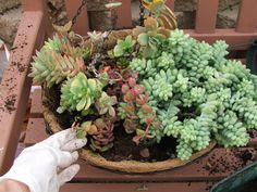 Creating a Succulent Hanging Basket