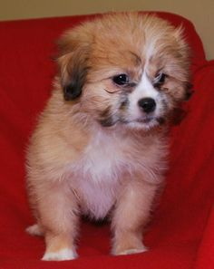 Hello there! My name is Justine and I am an 8 week old #Purebred #ShihTzu #puppy. I'm a wonderful, sweet little girl looking for a loving forever home. Could it be yours? http://www.doggielife.com/justine/dogs/R0UI06