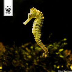 Ein hoch auf das Seepferdchen!  Wusstet ihr schon, dass bei den Seepferdchen das Männchen schwanger wird? Das Weibchen schiebt dem Männchen ihre Eier in den Brutbeutel, das nach etwa vier Wochen 50 bis 100 Jungtiere in die Freiheit pumpt.