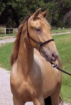 Highly Intoxicated Scottish Accent, Tennessee Walking Horse, Ponies, Deer, Champagne, Animals, Animales, Animaux, Animal