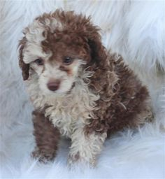 Merle chocolate toy poodle.  This kennel has some amazing puppies!