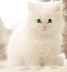 Cute kittens are welcome at our community! White Kittens, Cute Cats And Kittens, I Love Cats, Crazy Cats, Kittens Cutest, Funny Kittens, Black Cats, Pretty Cats, Beautiful Cats