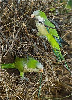 Monk Parakeet Myiopsitta monachus Established exotic with sustaining populations All Birds, Cute Birds, Pretty Birds, Beautiful Birds, Exotic Birds, Colorful Birds, Monk Parakeet, Mundo Animal, Backyard Birds