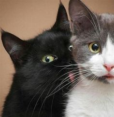 Why cats lick each other