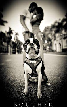 Black & White - Boston Terrier - Dog - Engagement Shoot - Photos by Weston & Marissa Boucher of Bouchér Photography - boucherphotograph... - couples shoot, san diego engagement shoot