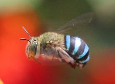 blue banded bee grows to 10-12mm and appears to prefer the nectar from blue flowers..Australia