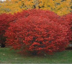 A burning bush border would be nice in the rear of the yard.  And it would look fantastic in fall!