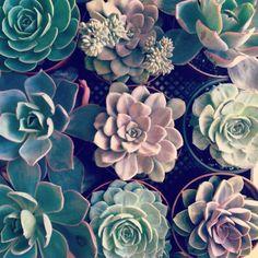 Echivera succulents