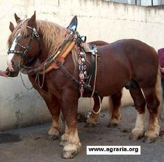 Italian TPR Agricultural Horse