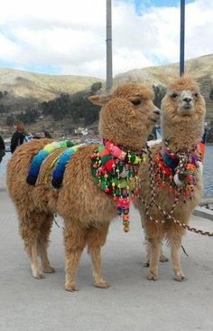 Are these alpacas? Or llamas. Farm Animals, Animals And Pets, Funny Animals, Cute Animals, Alpacas, Llama Pictures, Animal Pictures, Beautiful Creatures, Animals Beautiful
