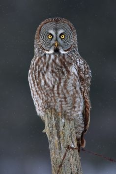 Great Grey Owl by Jim Cumming on 500px