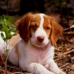 Brittany spaniel- i am kind of obsessed!