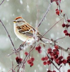 This sweet sparrow was perched in our crab apple tree, just watching the snow fall.