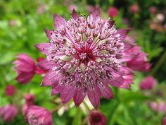 Astrantia major `Rubra` . Plant for dappled shade or sun. will slowly expand but never invasive. Plant voor gefilterde schaduw of zon. breidt zich langzaam uit maar is niet woekerend.