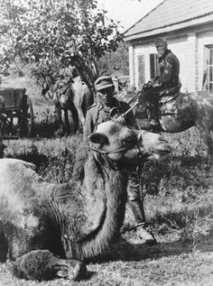 Camels could be found in many parts of southern Russia serving as beasts of burden. In this photo, German troops face the camera along with a camel captured from the Russians and pressed into service with the corresponding German army component. 1942.