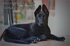 Allergie cani rimedi naturali, Il cane può essere allergico al manzo o pollo contenuti nel pet-food, la dieta BARF, dermatite atopica