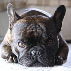 Angus ❤️, the French Bulldog