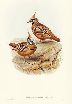 Color Pencil Sketch, John Gould, Prehistoric Dinosaurs, Nature Artists, Australian Birds, Bird Illustration, Vintage Art, Vintage Prints, Bird Design